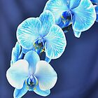 Blue Diamond Orchid  by Matsumoto