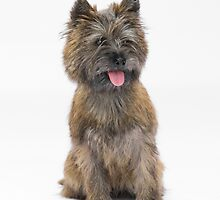 Cairn Terrier 3 by Avalinart