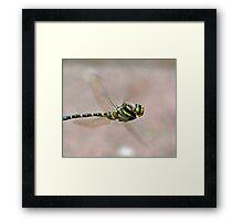 Golden-ringed Dragonfly Framed Print