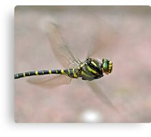 Golden-ringed Dragonfly Canvas Print