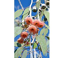 Pink gumtree flowers Photographic Print