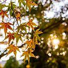 momiji leaves in autumn by parisiansamurai