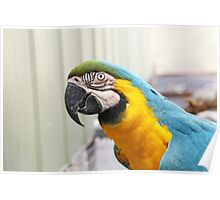 Blue & Gold Macaw Poster
