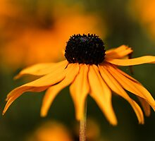 Golden Delight by ncp-photography