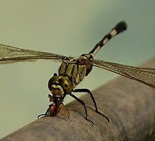 Dragon fly catches a house fly by Ikramul Fasih