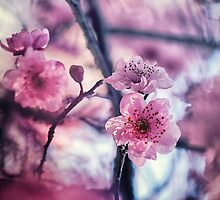 Cherry Blossoms by yolanda