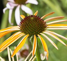 echinacea in garden by spetenfia