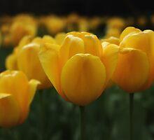 Yellow Tulips by Heartland