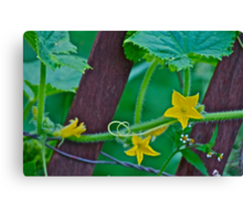 Cucumber flower Canvas Print