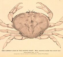 The Common Crab of the Pacific Coast by BravuraMedia