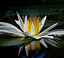White Water Lily by cclaude