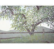 Apple Blossoms in the Spring Photographic Print
