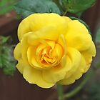 dads yellow rose by relayer51