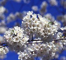 Cherry Tree Blossoms by BravuraMedia