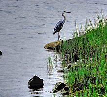 Heron on the shore by Nancy Richard