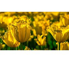 Frilly Tulips at Sunrise Photographic Print