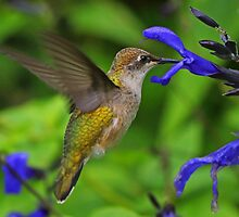 Female Ruby -Throated Hummingbird by jozi1
