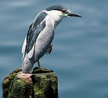 Black Crowned Night Heron by JHRphotoART
