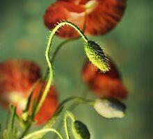 Red Poppies Impression by JBlaminsky
