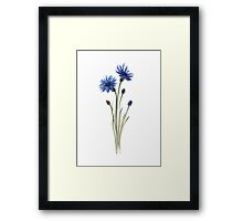 Cornflowers Blue Green Brown Watercolour Painting Illustration Poster Framed Print