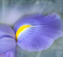 Iris Delight by Carolyn Staut
