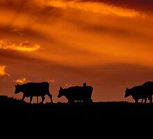 Sunrise Cows - New Zealand by AndreaEL