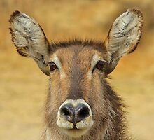 Waterbuck - Focused Stare - African Wildlife by LivingWild