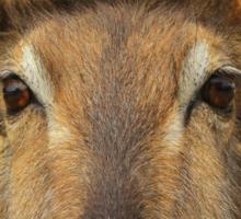 Waterbuck - Focused Stare - African Wildlife Sticker