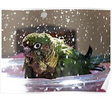 Splash Time - Maroon-Bellied Conure Poster