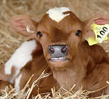 I Have Perfect Teeth! - Calf NZ by AndreaEL