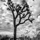 Joshua Tree by Radek Hofman
