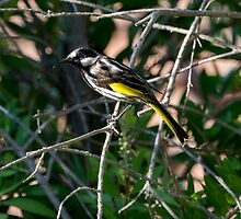 White Cheeked Honey Eater by Sandra Chung