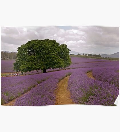 Oak in Lavender - Old tree amidst the new blooms Poster