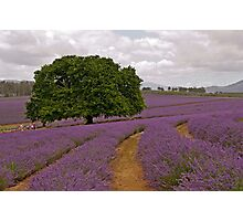 Oak in Lavender - Old tree amidst the new blooms Photographic Print