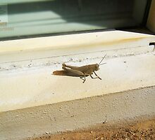 Grasshopper - 09 10 2016 by Robert Phillips