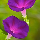 The Glory of Morning Glory by John Butler