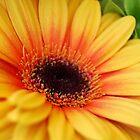 yellow gerbera daisy by Miriam Gordon