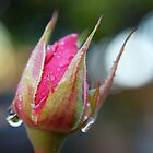 rose bud by Miriam Gordon