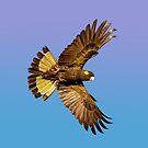 Yellow Tailed Black Cockatoo in flight. by Creadius