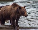 Grizzly [Ursus arctos horribilis] in the Rain by Yukondick