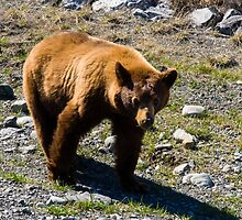 Young Grizzly along the Alaska Highway by Yukondick