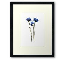 Cornflowers Blue Green Watercolour Painting Illustration Drawing Poster Framed Print