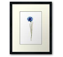 Cornflower Blue Botanical Illustration Watercolor Painting Image Poster Framed Print
