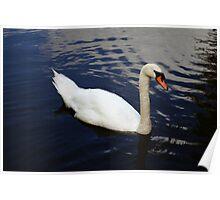 Swan at Oakfield Park Poster