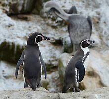 Penguins by UrbanPictures