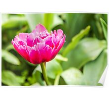 Pretty pink Tulip amid a mass of green Poster