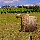 Hay Bales and Vines - Coombend Vineyard, Tasmania by TonyCrehan