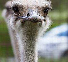ostrich in the farm by spetenfia
