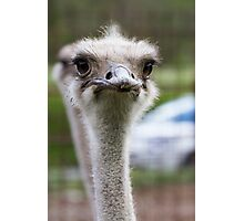 ostrich in the farm Photographic Print