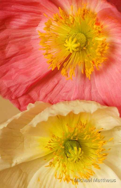 Poppies by Michael Matthews